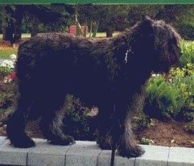 Close Up Left Profile - Paden the Bouvier des Flandres standing on a concrete wall in front of a flower garden