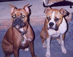 Sugar and Sullivan the Boxers sitting on carpet and looking at the camera holder