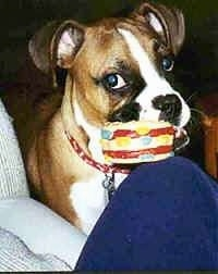 Close Up - Callie the Boxer with a hamburger squeaky toy in her mouth