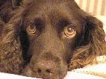 Close Up - Holly the Boykin Spaniel's head