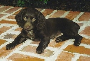 Hannah the Boykin Spaniel puppy laying on a brick porch looking at the camera holder
