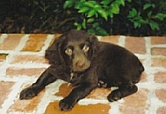 Hannah the Boykin Spaniel puppy laying on a brick porch
