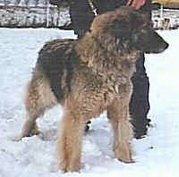 Carpathian Shepherd Dog, Picture Of Array : Carpathian Sheepdog Information And Pictures: Carpathian Sheepdog Information and images