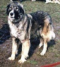 A Wet Carpathian Sheepdog is standing in mud