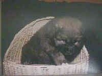 Caucasian Ovtcharka Puppy is sitting in a wicker basket