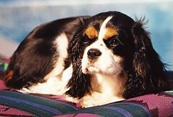 Jewel the Cavalier King Charles Spaniel Dog is laying on a beach chair