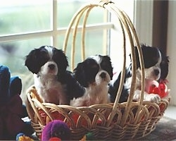 Three Cavalier King Charles Spaniel Puppies are sitting in a wicker basket that was placed on a window sill