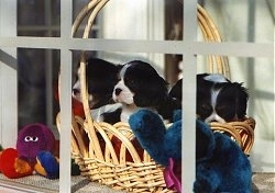 Three Cavalier King Charles Spaniel Puppies are sitting in a wicker basket and looking out of a window