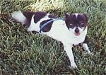 Cookie the black and white Chihuahua dog is laying outside in grass. Its mouth is open and its tongue is out