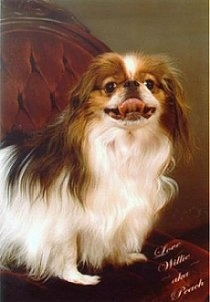 A white with tan Japanese Chin is sitting in a fancy chair. Its mouth is open and tongue is curled out and up.