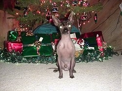 View from the front - A hairless Chinese Crested dog is sitting under a Christmas tree in front of gifts.