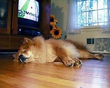 Axl the Chow Chow is sleeping on a hardwood floor. There is a TV playing in the background