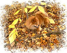 Axl the reddish-brown Chow Chow is laying in a bunch of leaves