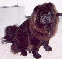 Chang the black Chow Chow is sitting on a white tiled floor and there is a white door behind him
