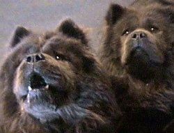 Two Black Chow Chows are looking up. Bear the Chow Chow has his mouth open with teeth showing and Ben Ling is looking wise