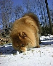 Axl the brown Chow Chow is nosing through snow outside