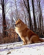 Axl the Chow Chow is sitting in snow and looking to the left