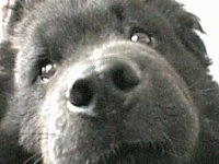 Close Up focal point on the nose - Nux the black Chow Chow's face