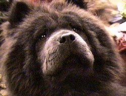 Close Up - A black Chow Chows face. It is looking up