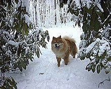 Axl the Chow Chow is standing outside in snow in between two snow-covered trees