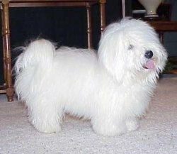 Right Profile - Xacto the pure white Coton De Tulear is standing on a carpet in front of a table. His tongue is sticking out and he looks happy.