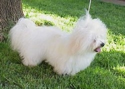 Louxor de Domaine la Rouviere the Coton De Tulear puppy is posing outside under the shade of a tree