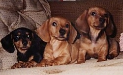 Three Dachshunds are lined  up  laying on a couch. The first one is black and tan and the other two are tan.