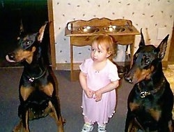 Shania and Argyle the Doberman Pinschers are sitting on the sides of a toddler named Michaela in a house. There is a double sided dog food dish rack behind them.