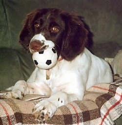 A brown and white Drentse Patrijshond is laying on a plaid blanket and on a couch. There is a toy soccer ball in its mouth
