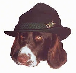 Head shot on a white background of a Drentse Patrijshond dog wearing a hat