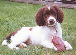 A  Drentse Patrijshond puppy is laying outside in grass and there is a toy between his front paws.