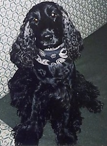 Bleki the Black English Cocker Spaniel is wearing a black and white bandana and sitting on a carpet in front of a couch.