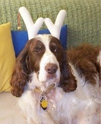 Disney the brown and tan English Springer Spaniel is wearing white reindeer horns and laying on a couch