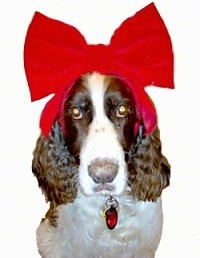 Disney the brown and tan English Springer Spaniel is wearing a very large red ribbon. The background is photoshopped out with a white layer.