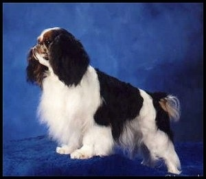 Right Profile - Beau the black, white with brown English Toy Spaniel is standing on a blue platform. There is a blue backdrop behind it
