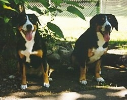 Two Entelbuch Mountain Dogs are sitting under a tree with there mouth open and tongues out smiling