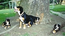An Entelbuch Mountain Dog is sitting under a large tree with a litter of Entelbuch puppies around her.