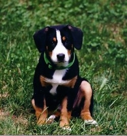 An Entlebucher puppy is sitting in a field of grass looking forward.