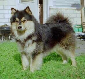 A fluffy black and tan Finnish Lapphund dog is standing in a yard with a house behind it.