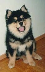 A fluffy black and tan Finnish Lapphund puppy is sitting on a hardwood floor against a white wall. The dog looks like it is smiling