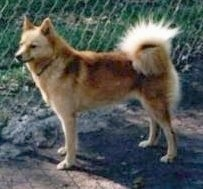 A golden-red Finnish Spitz is standing in dirt in front of a tall chain link fence