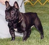 A black with white French Bulldog is standing in a field at a dog show and there is a person next to it.