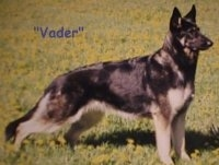 A black and tan German Shepherd is standing in grass and looking forward. The words - 'Vader - are overlayed