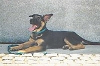 A black and tan German Shepherd puppy is laying against a wall looking up with its mouth open and tongue out