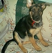 A black and tan German Shepherd puppy is sitting on a tan couch
