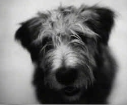 Close Up head shot - A black and white photo of the face of a Glen of Imaal Terrier