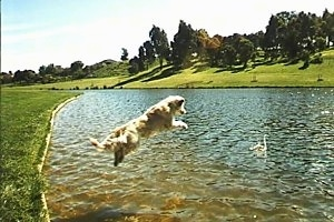 Tess the Golden Retriever is high in the air jumping into a pond. There is a Swan swimming in it.
