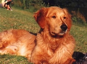 Close Up - A red Golden Retriever is laying in a grassy field