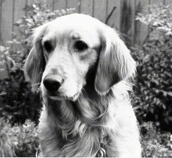 Upper body shot - A black and white photo of a Golden Retriever who is sitting in a yard.