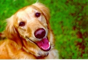 Close Up - A smiling Golden Retriever is looking up with its mouth open and green bushes behind it.
